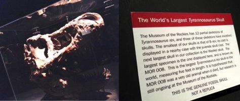 Biggest TRex Skull