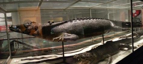 Aussie Museum - crocs