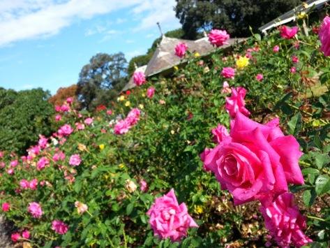 Royal Garden - Pink Roses